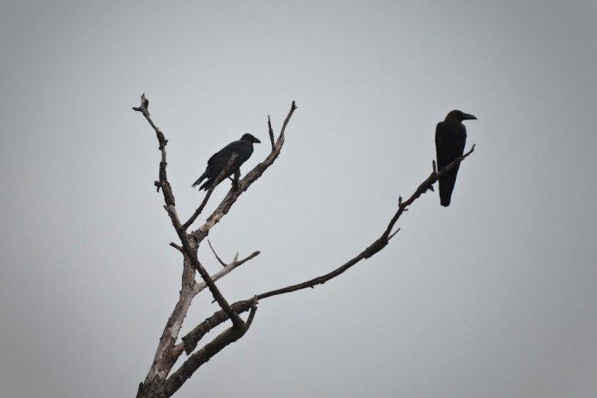 00 crow
